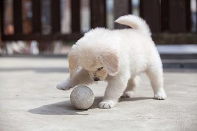 ボールと遊ぶ子犬  04-20-03