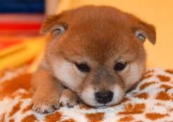 柴犬 子犬  04-18-01