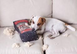 ソファでいたずらする犬 04-21-01