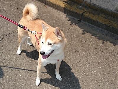 散歩きらいな犬  04-20-16