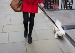 女性と散歩する白い犬
