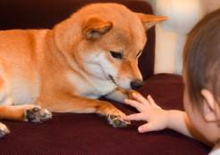 柴犬と赤ちゃん 11-24-01
