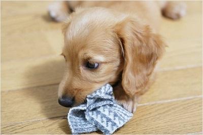 タオルをくわえる子犬 02-01-03
