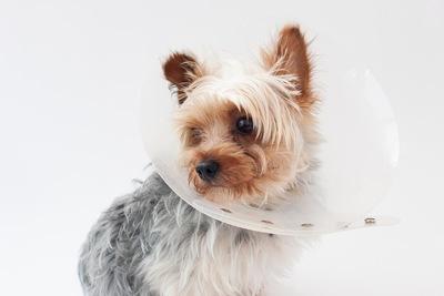 手術後の犬 02-08-01