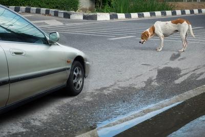 車とぶつかりそうな犬 12-27-02