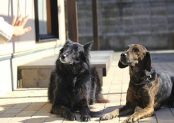 ふせをする2匹の犬 05-11-01