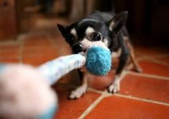 おもちゃをかむ犬 04-27-07